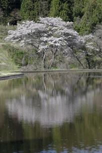 水面に反射する桜の大木の写真素材 [FYI04566576]