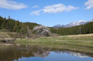水田に映る桜と残雪の山と白い雲の写真素材 [FYI04566584]