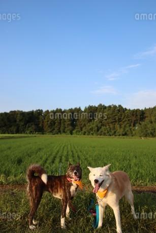 笑顔の2匹の犬と田園風景の写真素材 [FYI04566887]