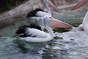羽を動かしてるペリカンの写真素材 [FYI04567196]