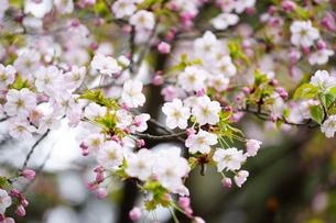 桜の写真素材 [FYI04567225]