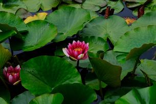 蓮の池の写真素材 [FYI04567329]