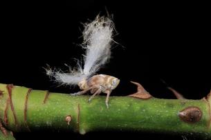 バラの枝に止まるパラシュートのような毛束を付けたアミガサハゴロモ の写真素材 [FYI04567342]