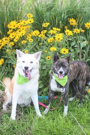 笑顔で並ぶ2匹の犬と花の写真素材 [FYI04567371]