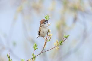 柳の花を食べるスズメの写真素材 [FYI04567657]