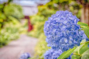 紫陽花 Hydrangeaの写真素材 [FYI04567757]