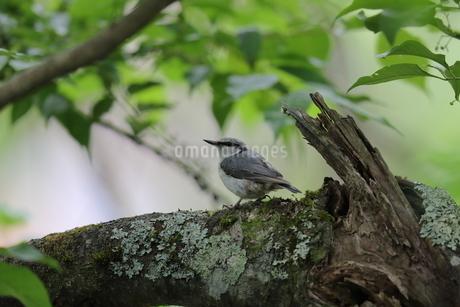 木の枝にとまるゴジュウカラの写真素材 [FYI04567771]