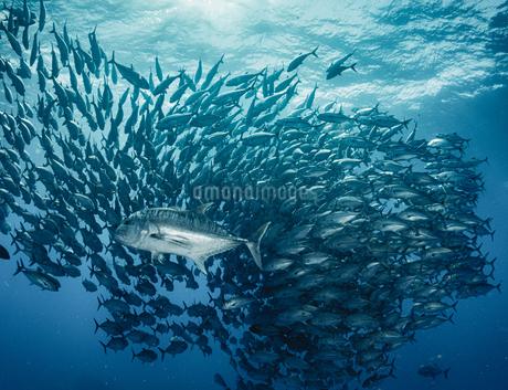 ギンガメアジの群れにロウニンアジの攻撃の写真素材 [FYI04567825]