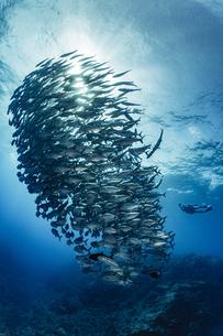 ギンガメアジの群れの写真素材 [FYI04567832]