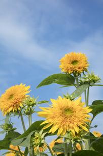 ヒマワリの花の写真素材 [FYI04568028]