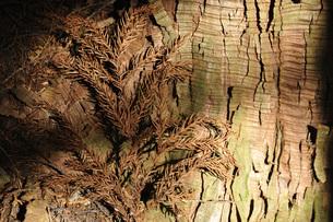 杉に斜光の写真素材 [FYI04568037]