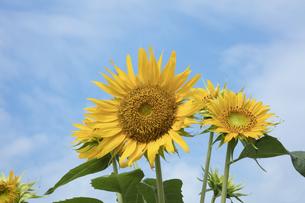 ヒマワリの花の写真素材 [FYI04568039]