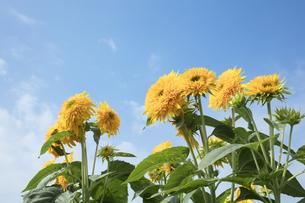 ヒマワリの花の写真素材 [FYI04568126]