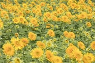 ヒマワリの花畑の写真素材 [FYI04568127]