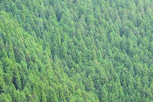 杉林の斜面の写真素材 [FYI04568486]