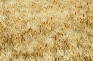 麦畑の写真素材 [FYI04568765]