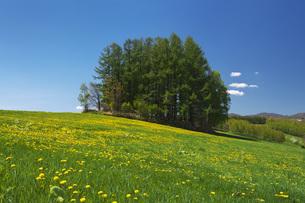 もうひとつのマイルドセブンの丘とタンポポの写真素材 [FYI04568814]
