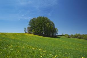 もうひとつのマイルドセブンの丘とタンポポの写真素材 [FYI04568842]