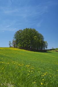 もうひとつのマイルドセブンの丘とタンポポの写真素材 [FYI04568843]