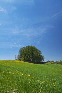 もうひとつのマイルドセブンの丘とタンポポの写真素材 [FYI04568844]