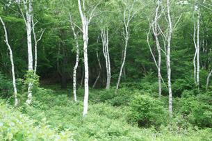初夏の一ノ瀬,白樺林の写真素材 [FYI04568895]