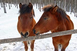 1月 冬の木曽馬の里の写真素材 [FYI04568916]