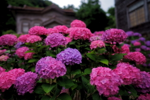 雨上がりの紫陽花の写真素材 [FYI04569149]