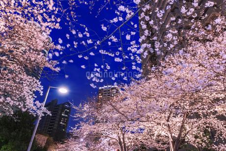 ライトアップの桜とビル 東京夜景の写真素材 [FYI04569154]