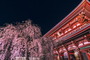 浅草寺のライトアップの桜 東京夜景の写真素材 [FYI04569156]
