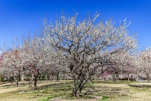 梅の花咲く水戸偕楽園の写真素材 [FYI04569198]