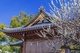 梅の花咲く亀戸天神の写真素材 [FYI04569203]