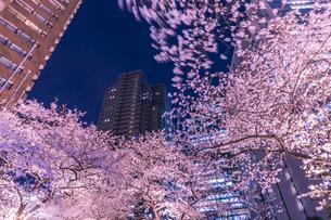 ライトアップの桜とビル 東京夜景の写真素材 [FYI04569205]