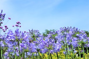 夏色の青紫の花と青い空の写真素材 [FYI04569231]
