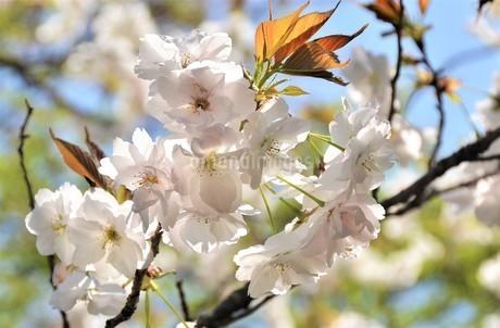 北海道で生まれた、八重咲の大輪の桜 逆行の陽射しを花弁一面で受け止め、青空の下で満開に咲き誇る の写真素材 [FYI04569576]