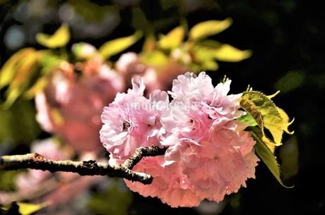 古木の枝に、満開に色づいたピンクの花弁を付けた八重桜が、爽やかに咲き誇るの写真素材 [FYI04569577]