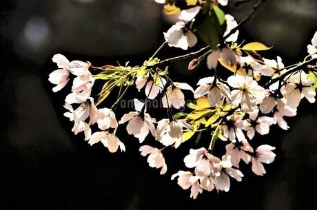 逆行の陽射しを受け、小さなピンクの花弁を付けた山桜 可愛く清楚に花開くの写真素材 [FYI04569578]