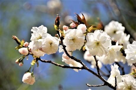 真っ白な花弁を付けた八重の桜が、春の柔らかの陽射しを受けて、爽やかに咲き誇るの写真素材 [FYI04569580]