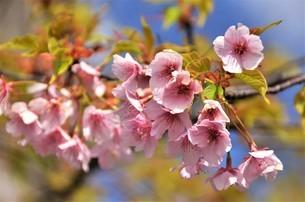 青い空を背にして、ピンクの可愛い花弁を付けた陽光桜が、花開くの写真素材 [FYI04569599]