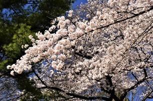 ソメイヨシノの桜が青空の下で満開に花開き、花弁が玉のように丸くなり、豪華に咲き誇るの写真素材 [FYI04569604]