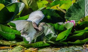 蓮池に小鳥の写真素材 [FYI04569613]