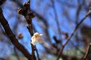 桜の写真素材 [FYI04569639]