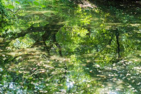 水面に映る新緑の写真素材 [FYI04570065]
