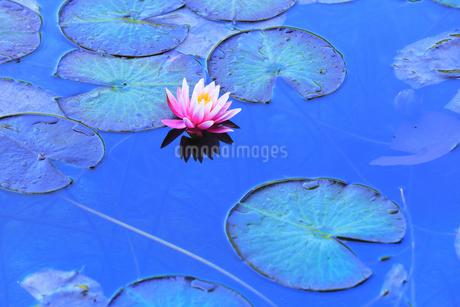 睡蓮の花の写真素材 [FYI04570205]