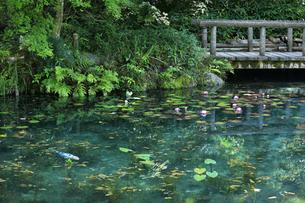 モネが描いた絵のような池にハートの鯉と睡蓮の花の写真素材 [FYI04570248]