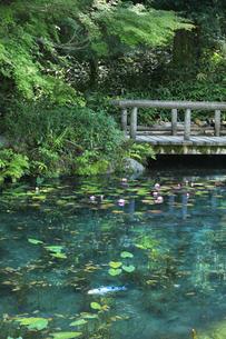 モネが描いた絵のような池に鯉と睡蓮の花の写真素材 [FYI04570249]