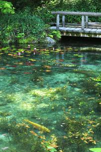 モネが描いた絵のような池に鯉と睡蓮の花の写真素材 [FYI04570250]