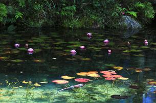 睡蓮の花と鯉の写真素材 [FYI04570251]