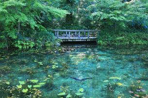 モネが描いた絵のような池に鯉と睡蓮の花の写真素材 [FYI04570252]