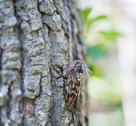 木に止まる蝉の写真素材 [FYI04570256]