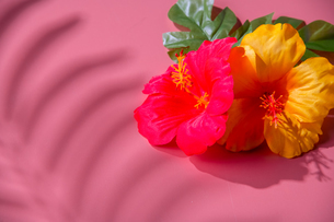 Artificial hibiscus flowers and leaves on pink background.の写真素材 [FYI04570275]